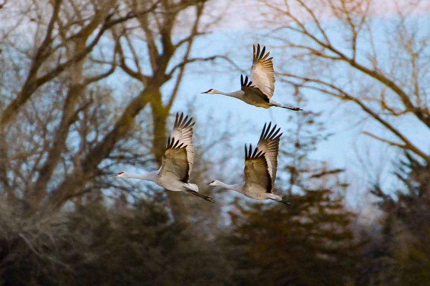 Cranes in Flight 2-4