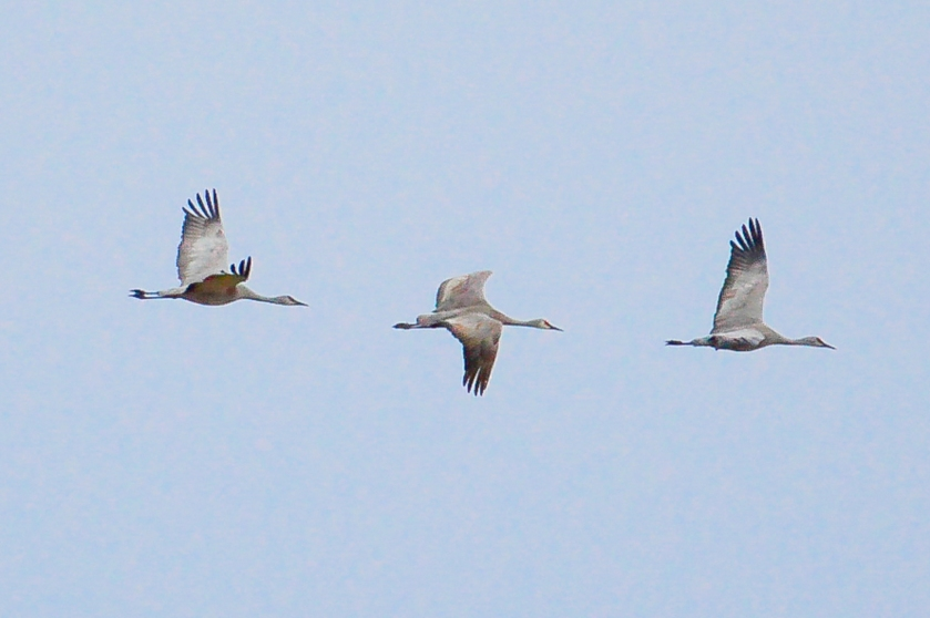 Cranes in Flight 7-1