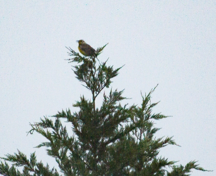 Distant Meadowlark