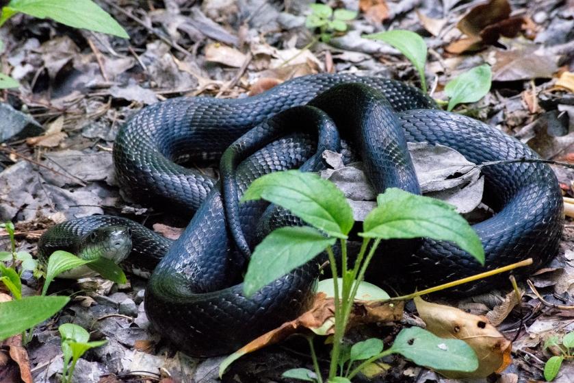 Rat Snake CLump