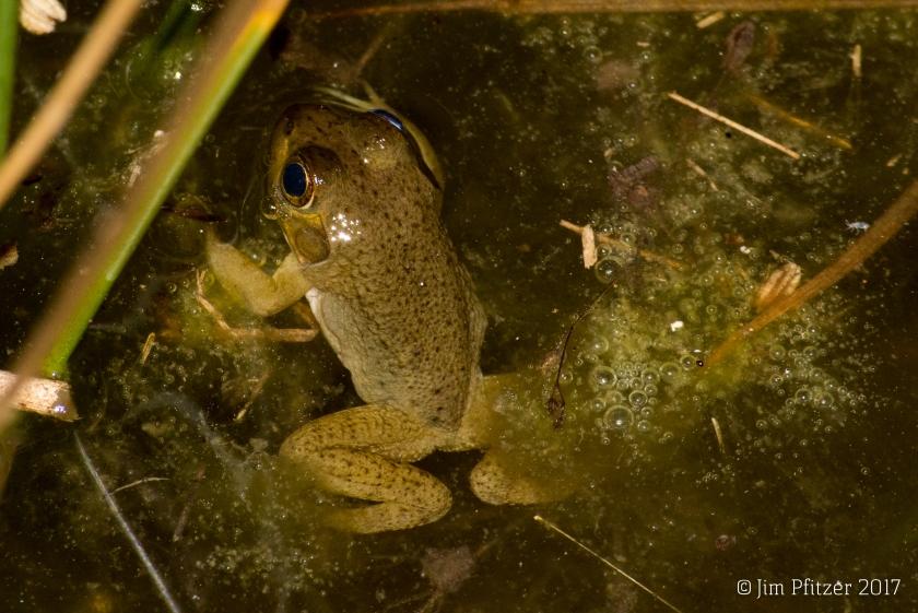 Young Bullfrog